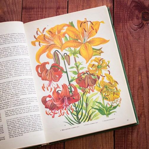 Садовые растения. Иллюстрация из книги 1960 года. Артикул: tibogf035