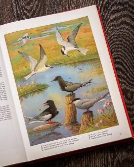 Птицы. Иллюстрация из книги 1973 года. Артикул: tobob048