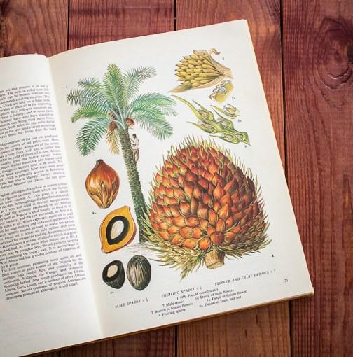 Пальма. Иллюстрация из книги 1971 года. Артикул: tobofp010