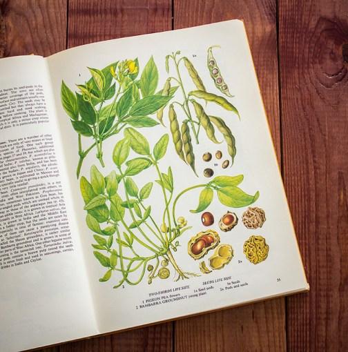 Бобовые. Иллюстрация из книги 1971 года. Артикул: tobofp017