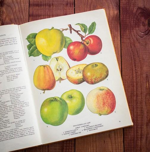Яблоки. Иллюстрация из книги 1971 года. Артикул: tobofp025