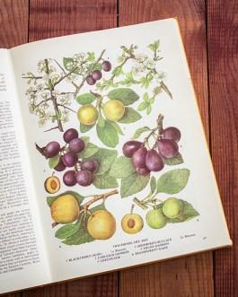 Чернослив. Иллюстрация из книги 1971 года. Артикул: tobofp033