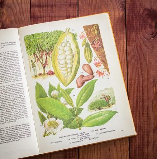 Какао. Иллюстрация из книги 1971 года. Артикул: tobofp056