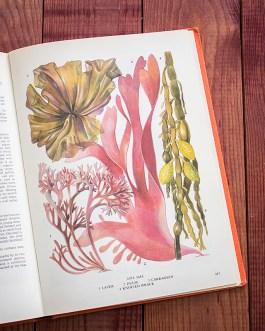 Водоросли. Иллюстрация из книги 1971 года. Артикул: tobofp093