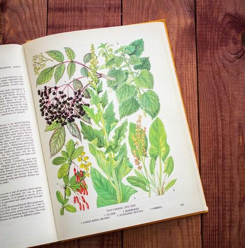 Барбарис. Иллюстрация из книги 1971 года. Артикул: tobofp095