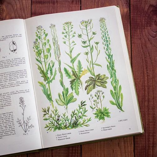 Полевые цветы. Иллюстрация из книги 1973 года. Артикул: tobowf035