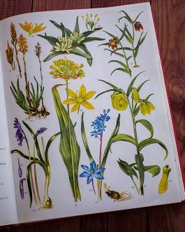 Дикие цветы. Иллюстрация из книги 1970 года. Артикул: wfw_pl024