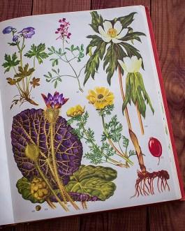 Дикие цветы. Иллюстрация из книги 1970 года. Артикул: wfw_pl091