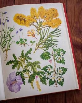 Дикие цветы. Иллюстрация из книги 1970 года. Артикул: wfw_pl135