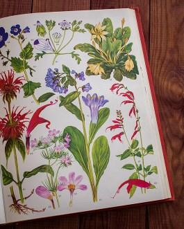 Дикие цветы. Иллюстрация из книги 1970 года. Артикул: wfw_pl163