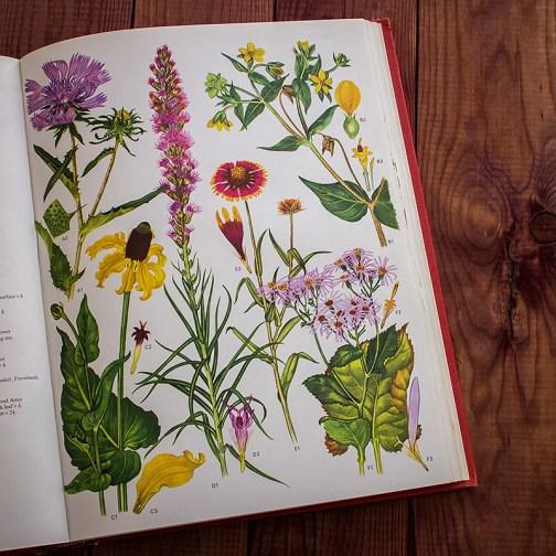 Дикие цветы. Иллюстрация из книги 1970 года. Артикул: wfw_pl165
