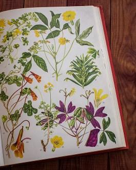 Дикие цветы. Иллюстрация из книги 1970 года. Артикул: wfw_pl171