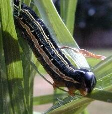 armyworm2