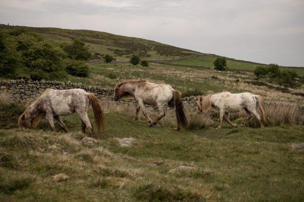 Wilde Carneddau-Ponys