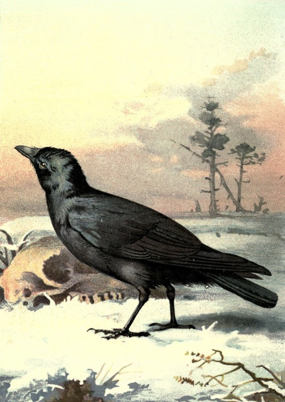 vgosn_vintage_carrion_crow_clipart_image
