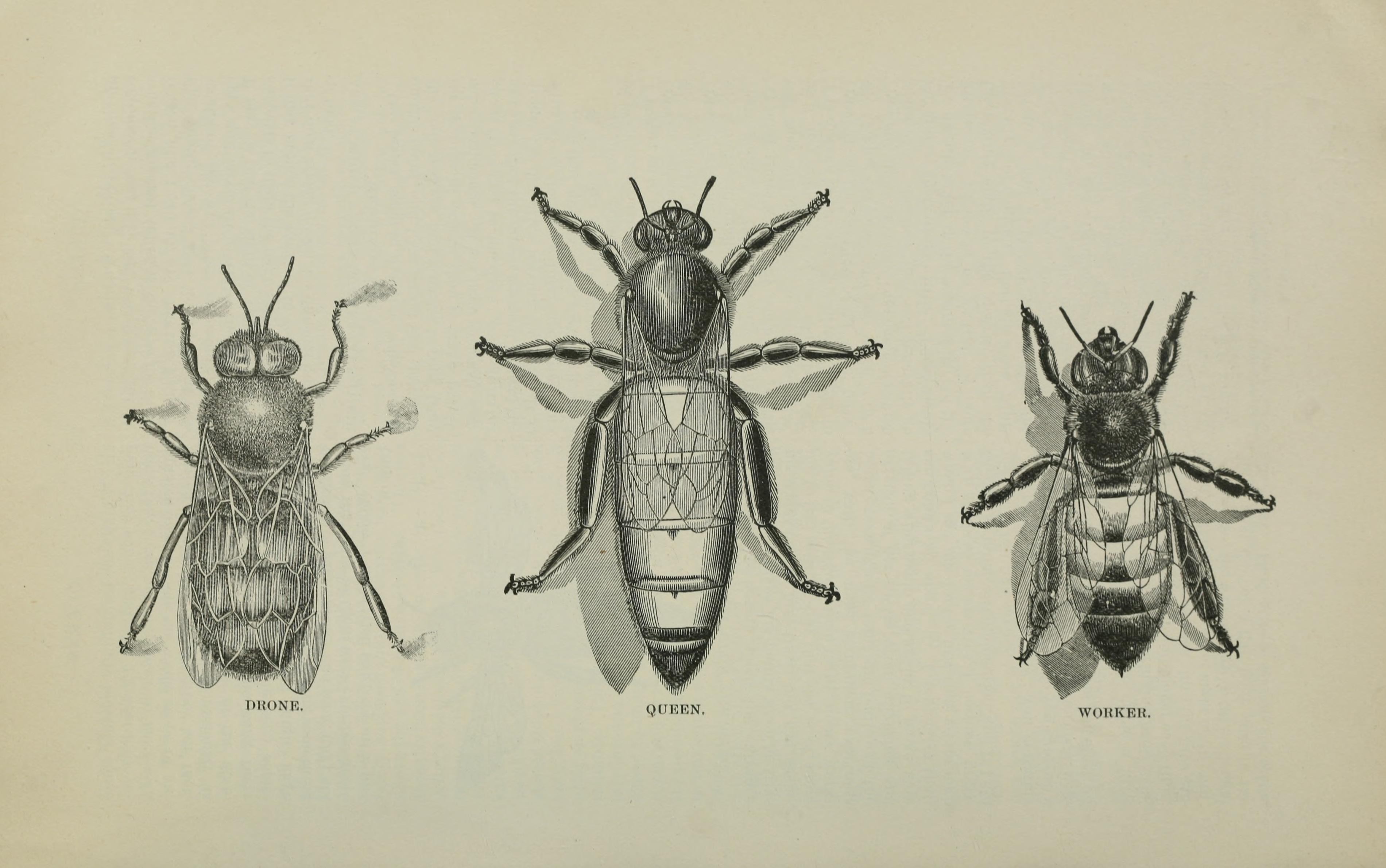 Honey Bee Illustration Antique
