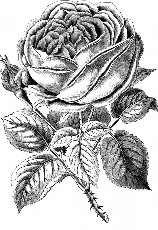 vgosn_vintage_rose_clip_art_image