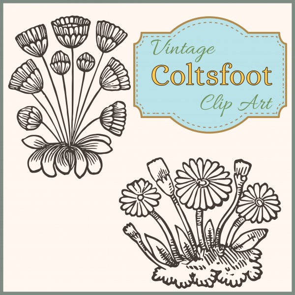 vintage_coltsfoot_clip_art