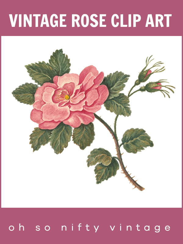 Vintage Royalty Free Images | Beautiful Heirloom Rose Illustration
