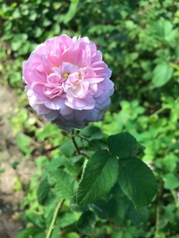 John Davis, a Canadian Explorer rose.