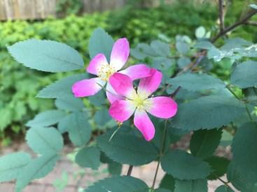 Rosa rubrifolia, a species rose.