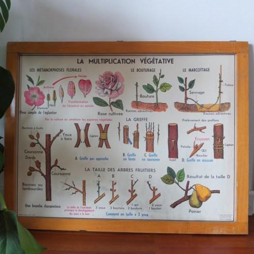 Affiche scolaire MDI – la fleur la fécondation & la multiplication végétative -1960