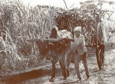 Ox-Cart carrying Sugar Cane during the Harvest Season (Courtesy: France Athow)