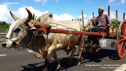 Ox Cart - Mauritius - Triolet - (Courtesy: Ryan Appadoo)