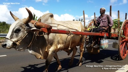 Ox Cart - Mauritius - Triolet - (Courtesy: Ryan Appadoo)