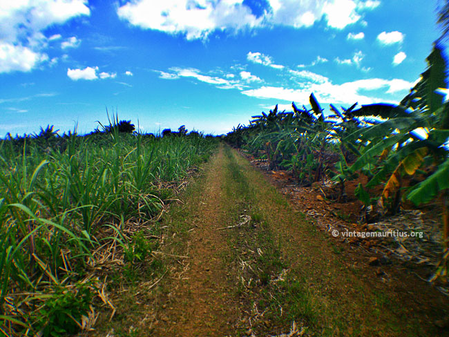 Through cane fields after leaving the Stone Bridge