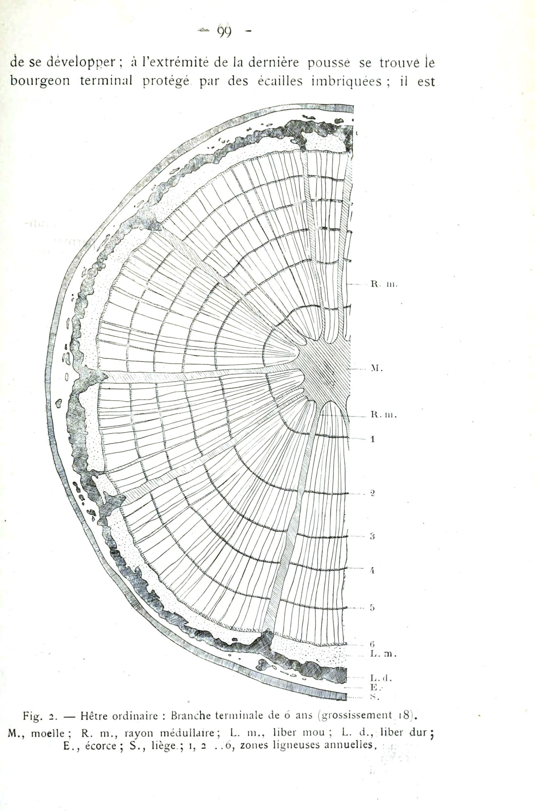 Botanical Tree Tree Ring Diagram