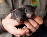 tasmanian-devil-babies
