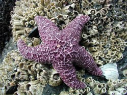 22864753.PurpleStarFish