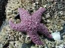22864753.PurpleStarFish