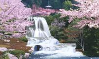 Sagura-Japan-Cherry-Blossom