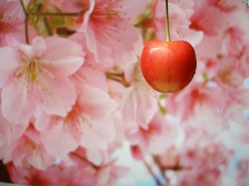 cherry-and-blossoms