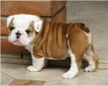 cute-english-bulldog-puppies-1024x819