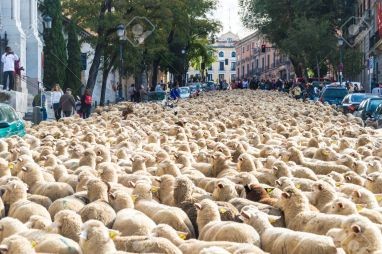 33372517-Madrid-Spain-November-02-2014-In-Madrid-Thousands-of-sheeps-Between-the-people-walk-along-the-ancien-Stock-Photo