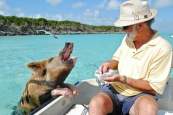 pig-swim-exuma-bahamas-caribbean-travel-1