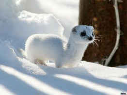 winter-snow-white-animals-outdoors-ferret-1600x1200-wallpaper_www-wallpaperto-com_84