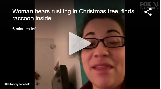 Raccoon in Woman's Christmas Tree!