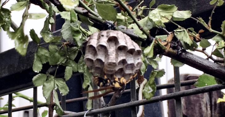 アシナガバチはバラが好き!ローザリアンを悩ませる蜂の巣を自力で安全に駆除する方法