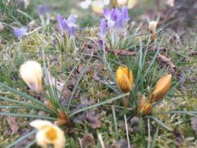 wiosna - krokusy