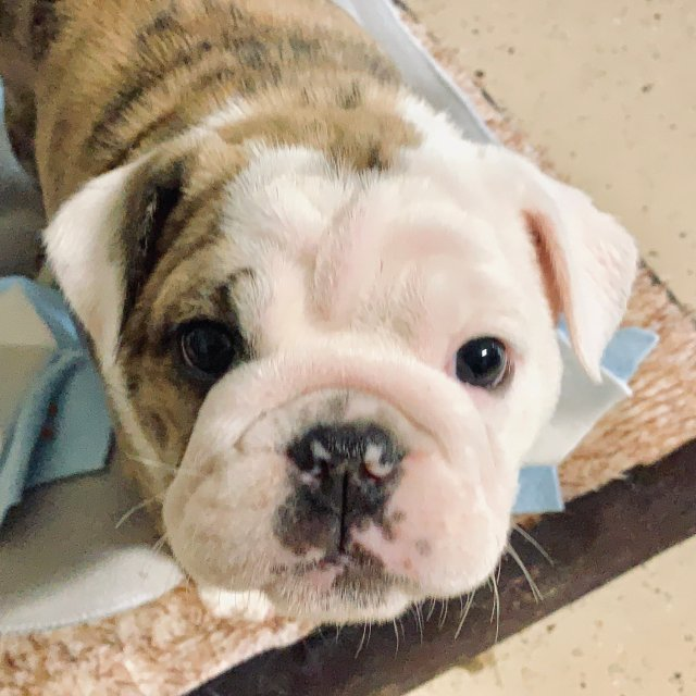 continent - old english bulldog puppy for sale in huntersville, north  carolina | vip puppies