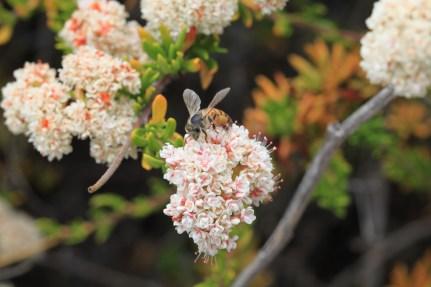 Bumble bee and California buckwheat