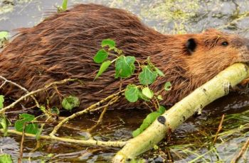 "Cable-chewing beavers take out town's Internet in ""uniquely Canadian"" outage"