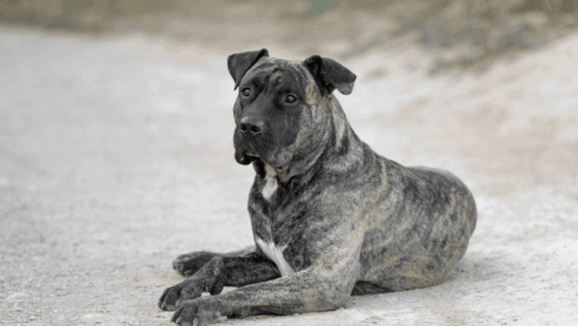 Most Dangerous Dog Breeds In The World 4