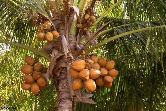 Coconut-tree2