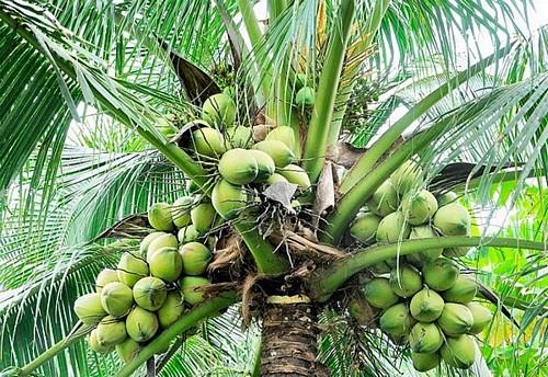 coconut-trees1