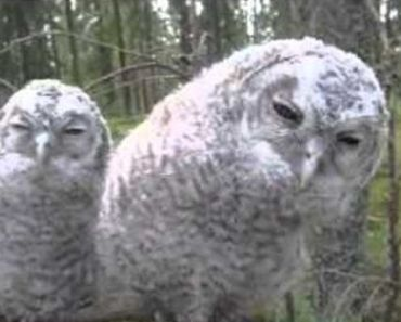 Weird Sleepy Owls: Watch Their Mind Conditioning Moves!